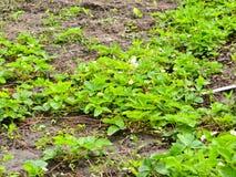 farming Молодые кусты клубник стоковые изображения rf