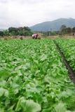Farming. Farmer is farming green vegetable Royalty Free Stock Photos