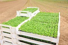 Farming, agriculture, basil field plantation Stock Photos