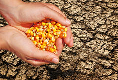 Farming agriculture farmer. Growing corn, sow, concept of agriculture and farming, background Stock Images