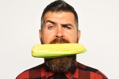 Farming and autumn crops concept. Farmer with confused face. With yellow corn in mouth. Man with beard holds ripe corn cob isolated on white background, close stock photography