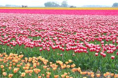 Farming business in the flowerfields, Holland Stock Images