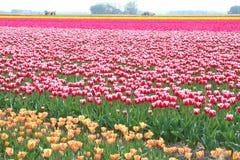 Farming export-business in the flowerfields, Flevoland, Noordoostpolder,Holland Stock Images