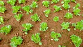 Farming cabbage Royalty Free Stock Photos