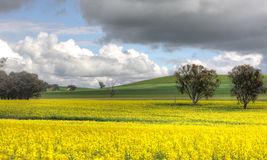 Farming Canolo in Cowra Royalty Free Stock Image