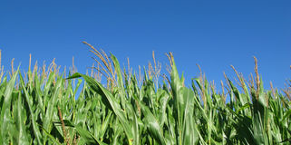 Farming corn with blue sky in summer. Tops of Indiana corn plants with tassels with a blue clear sky highlights the beauty of Hoosier agriculture royalty free stock photo