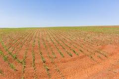 Farming Crops Landscape. Farming crops of young maize corn scenic landscape Stock Images