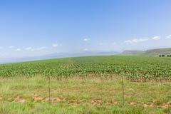 Farming Crops Landscape. Farming crops of young maize corn scenic mountains landscape Stock Photos