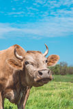 Farming in Eastern Europe. A curious cow Royalty Free Stock Images