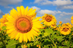 Farming field with sunflowers Royalty Free Stock Image