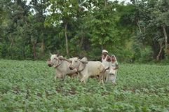 Indian farmer tilling the land with pair bullocks and plough Royalty Free Stock Photo