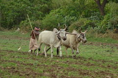 Indian farmer tilling the land with pair bullocks and plough Royalty Free Stock Image