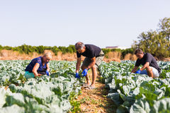 Free Farming, Gardening, Agriculture And People Concept- Family Harvesting Cabbage At Greenhouse On Farm. Family Business. Stock Image - 97188321