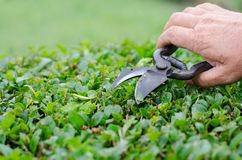 Farming, gardening, agriculture, harvest and people concept - hands of senior farmer with secateurs at farm greenhouse.  Stock Image