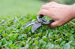 Farming, gardening, agriculture, harvest and people concept - hands of senior farmer with secateurs at farm greenhouse.  Stock Images