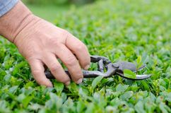 Farming, gardening, agriculture, harvest and people concept - hands of senior farmer with secateurs at farm greenhouse.  Royalty Free Stock Image