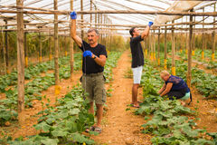 Farming, gardening, agriculture and people concept - happy family working on plants or cucumber seedlings at farm greenhouse. Fami stock photo