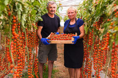 Farming, gardening, middle age and people concept - senior woman and man harvesting crop of cherry tomatoes at greenhouse on farm. Farming, gardening, middle Royalty Free Stock Images
