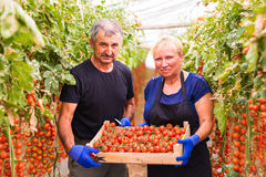 Farming, gardening, middle age and people concept - senior woman and man harvesting crop of cherry tomatoes at greenhouse on farm. Farming, gardening, middle age Stock Image