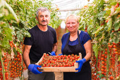 Farming, gardening, middle age and people concept - senior woman and man harvesting crop of cherry tomatoes at greenhouse on farm. Farming, gardening, middle age Royalty Free Stock Photo