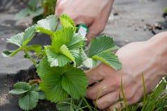 farming Handen van bladeren van de mensen de scherpe aardbei met snoeischaar royalty-vrije stock fotografie