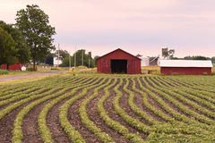 Farming in Illinois. Farm with Red barn growing beans in rows Royalty Free Stock Photo