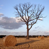 Farming Landscape. Round straw bales in wheat stubble field after harvest with dead tree beyond Essex England United Kingdom Royalty Free Stock Images