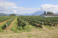 Farming Landscape in Valley. Landscape view of a successful berry farm in a valley during the summer months stock image