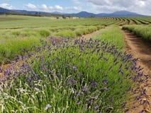 Bridestowe Lavender Estate farm Tasmania Australia stock photo