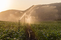 Farm Maize Crop Water Spray Sprinklers. Farm maize crop getting water sprayed from sprinklers at sunset Royalty Free Stock Photos