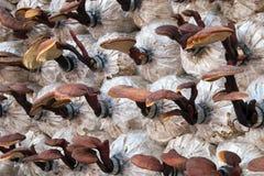 Farming medicinal Lingzhi or Reishi mushrooms in polyethylene bags royalty free stock photo