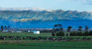 Farming New Zealand Stock Images