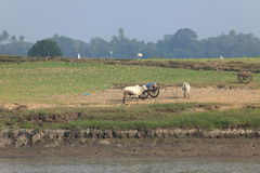 Farming with oxen in Myanmar Stock Image