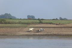 Farming with oxen in Myanmar Stock Photography