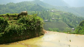 Farming plowing with ox,farm in Sapa,Vietnam,primitive tractor stock video footage