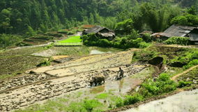 Farming plowing with ox,farm in Sapa,Vietnam,primitive tractor stock video