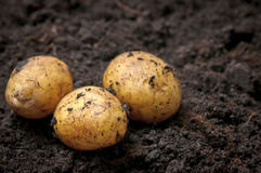 Farming Potatoes Stock Photography