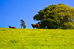 Farming red ruby devon cattle. Red ruby devon cattle wild flowers in grass and deep blue sky Royalty Free Stock Image