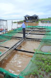 Farming of red tilapia in cage on river in the mekong delta of Vietnam Stock Image