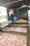 Farming of red tilapia in cage on river in the mekong delta of Vietnam Stock Photography
