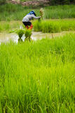 Farming rice in thailand. Royalty Free Stock Image