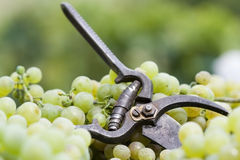 Farming Scissors. A pair of farming scissors on grape bunches Stock Image