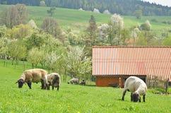 Farming, sheep farm countryside. Farming, grazing herd of sheep on fresh green grass by the farm Royalty Free Stock Image