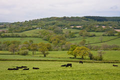 Farming in somerset cattle. Blackdown hills of somerset depicting a typical mixed farming area with cattle grazing royalty free stock photos