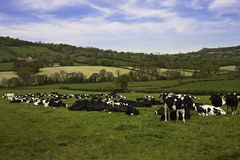 Farming in somerset cattle. Blackdown hills of somerset depicting a typical dairy farming area with friesian or holstein cows grazing stock image