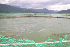 The farming sturgeon fish in cage culture in Tuyen Lam lake. Several species of sturgeons are harvested for their roe, which is ma Royalty Free Stock Photo