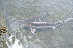 The farming sturgeon fish in cage culture in Tuyen Lam lake. Several species of sturgeons are harvested for their roe, which is ma Royalty Free Stock Photography
