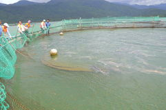 The farming sturgeon fish in cage culture in Tuyen Lam lake. Several species of sturgeons are harvested for their roe, which is ma Stock Photos