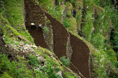 Farming on terraced fields. Cultivated terraces in Cape Verde. Hand farming in sugar cane plantations Royalty Free Stock Photography