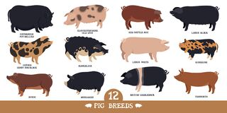 Free Farming Today Set Of Twelve Breeds Of Domestic Pigs Flat Vector Illustrations Isolated Objects Cattle Breeding And Stock Raising Stock Image - 175812551
